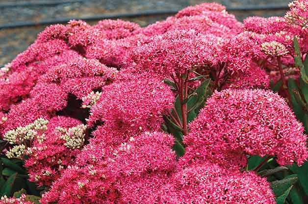 Mr. Goodbud Sedum
