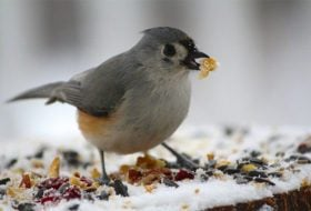 Ask the Bird Experts: Is It Titmouses or Titmice?