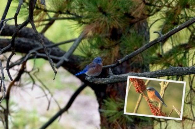 Western Birds Bluebird