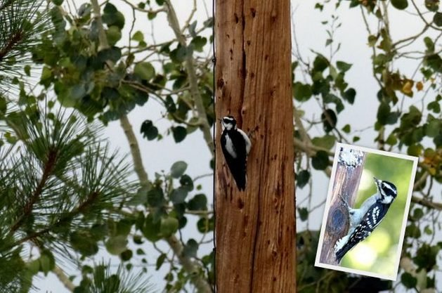 Western Birds Downy Woodpecker