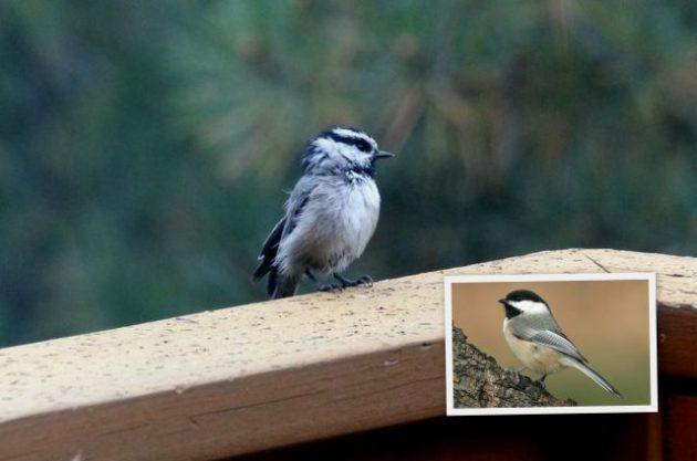 Western Birds Mountain Chickadee