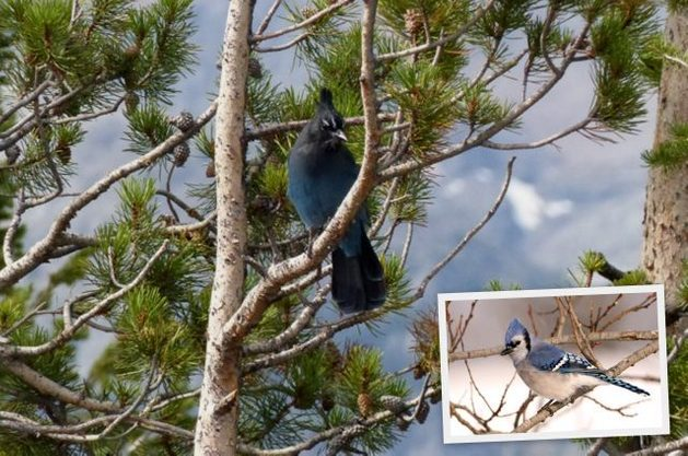 Western Birds Stellars Jay