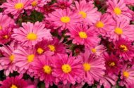 Top 10 Fall Flowers for a Perennial Garden