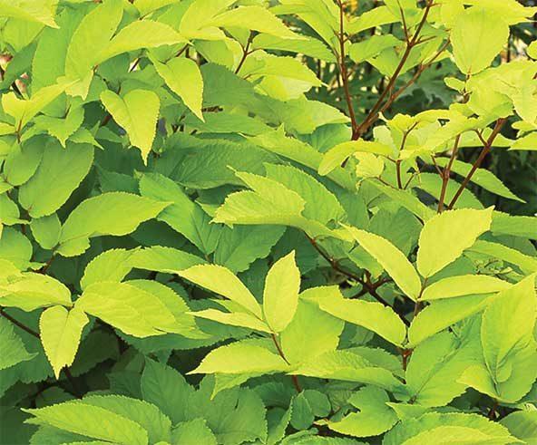 Top 10 Gold Foliage Plants For A Fall Garden | Garden Pics and Tips