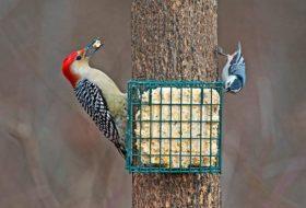 Suet Basics: How to Make Suet for Birds