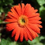How to Grow Gerbera Daisies in Pots