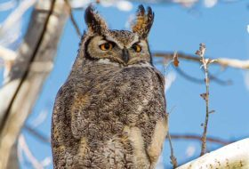 Great Horned Owls: The Greatest Hunters