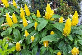 Golden Shrimp Plant Indoors and Out