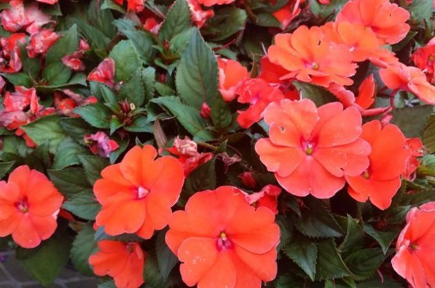 New guinea impatiens provide color in shade flower gardening for New guinea impatiens