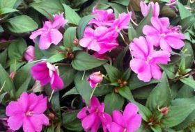 New Guinea Impatiens Provide Color in Shade