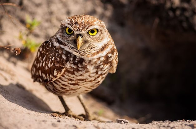burrowing owl, types of owls