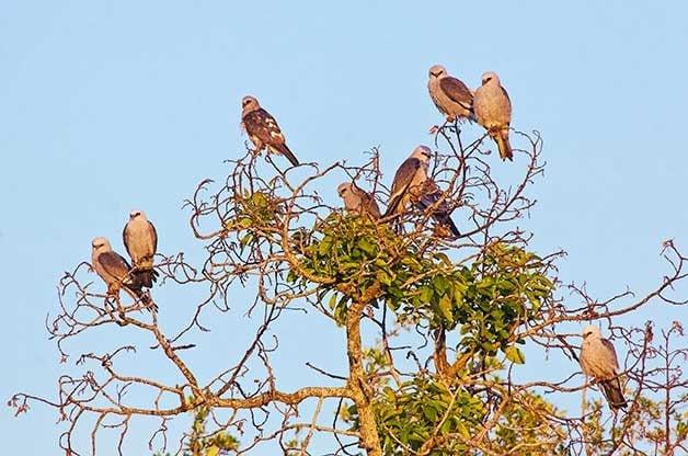 hawk migration