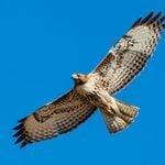 8 Must-Visit Hawk Migration Hotspots