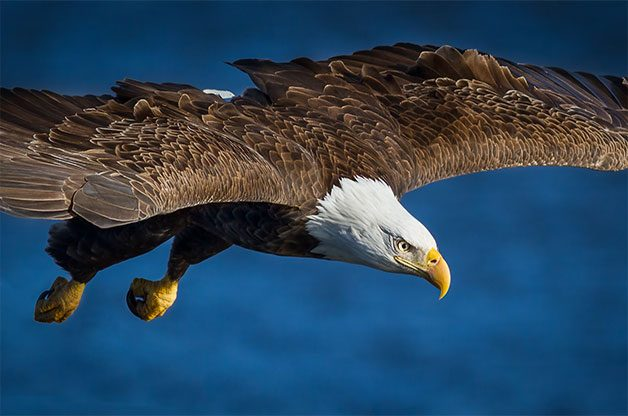 Bald eagles soar through Hawk Ridge Bird Observatory.
