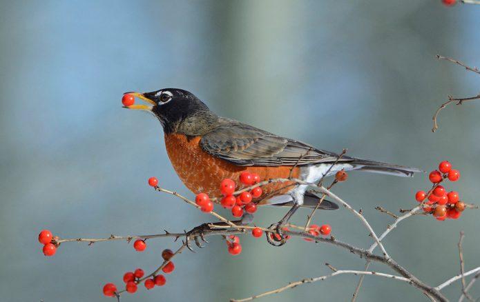 american robin in winterberry