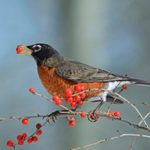 Top 10 Trees and Shrubs With Berries for Birds