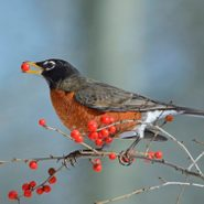 Top 10 Berry Trees and Shrubs Birds Love