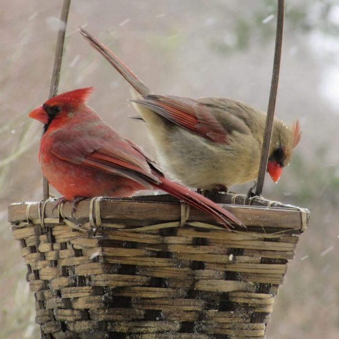 female and male cardinal in a basket