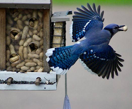blue jay flies away from peanut feeder