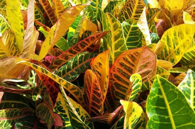 Grow Crotons