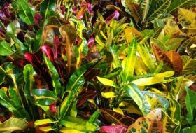 Grow Crotons for Year-Round Fall Foliage