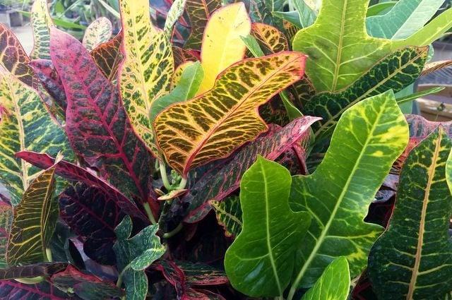 Grow Crotons
