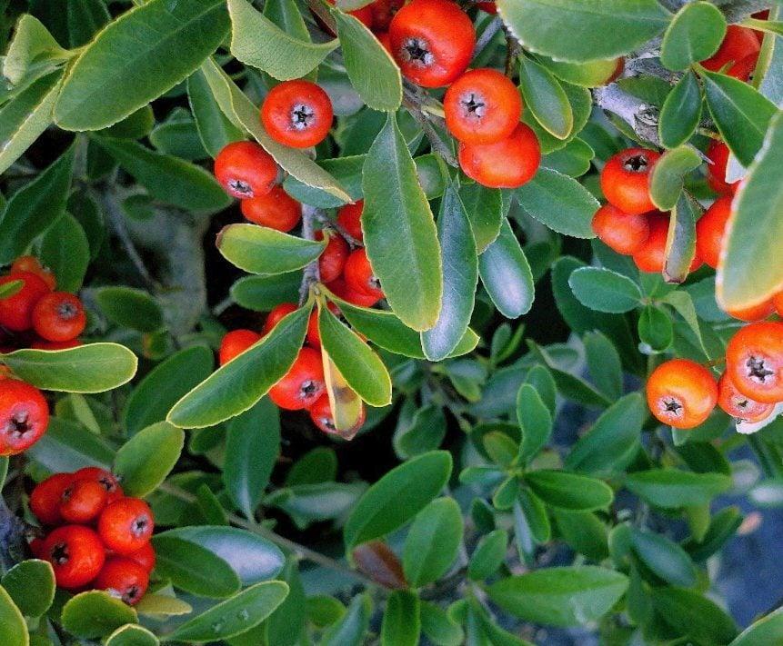 red elf firethorn