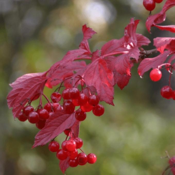 american cranberrybush