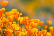 Top 10 Fast-Growing Annuals From Seed