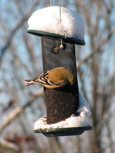 american goldfinch with winter plumage at thistle feeder