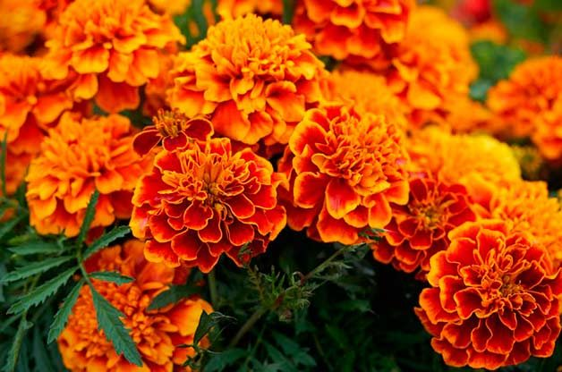 orange and yellow marigold cluster