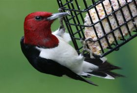5 Most Commonly Asked Questions About Suet