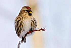 Ron Pittaway's Finch Irruption Forecast