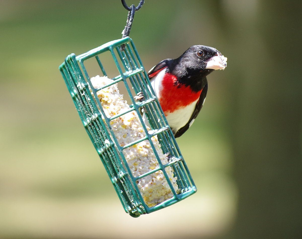 rose-breasted grosbeak at suet feeder