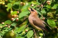 Top 10 Berry Plants Birds Love