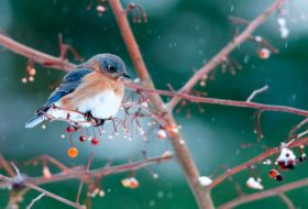 Ask the Bird Experts: What Do Bluebirds Eat in Winter?