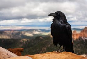 8 Surprising Facts About Ravens