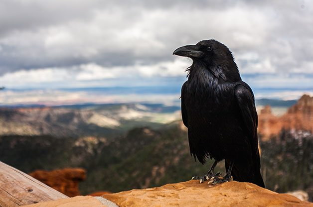 8 Surprising Facts About Ravens - Birds and Blooms
