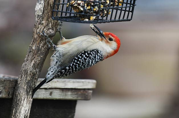 woodpecker at suet feeder