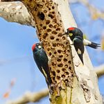 All About Acorn Woodpeckers: Ultimate Stockpilers