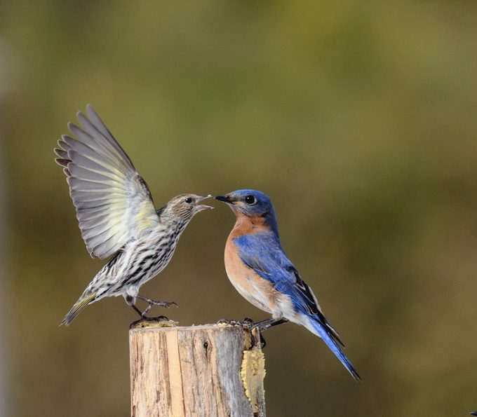 pine siskin and bluebird on peanut butter log feeder