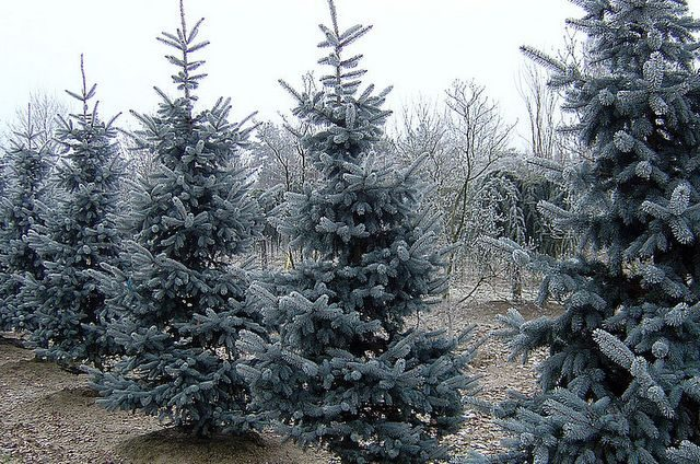Types of Christmas Trees Gmihail CC