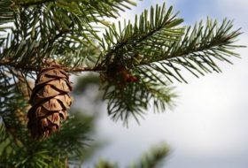 8 Types of Christmas Trees You Can Grow