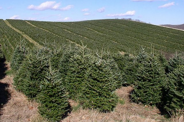 Types of Christmas Trees soil-scienceinfo CC