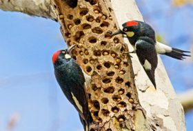 pair of acorn woodpeckers at acorn cache in tree