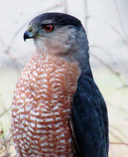 cooper's hawk looking left