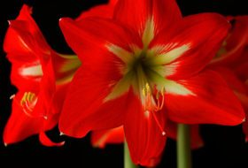 Ask the Garden Expert: How Do I Grow Amaryllis All Year?