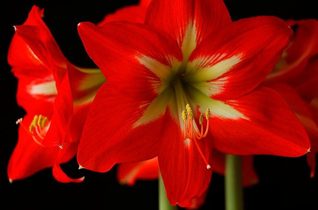 amaryllis blooms on black background