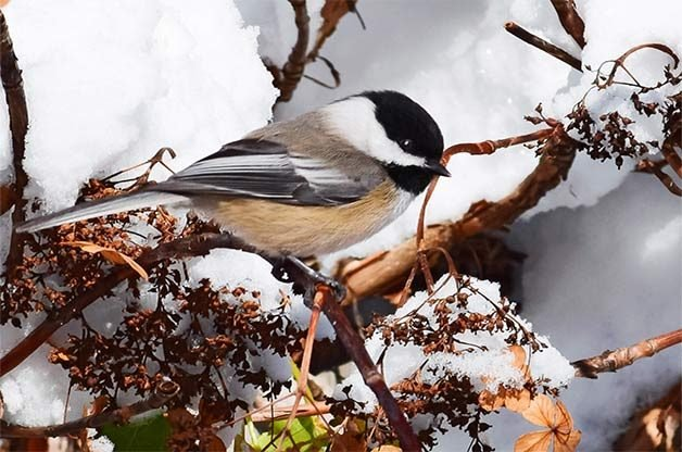 Black-capped chickadee in the snow