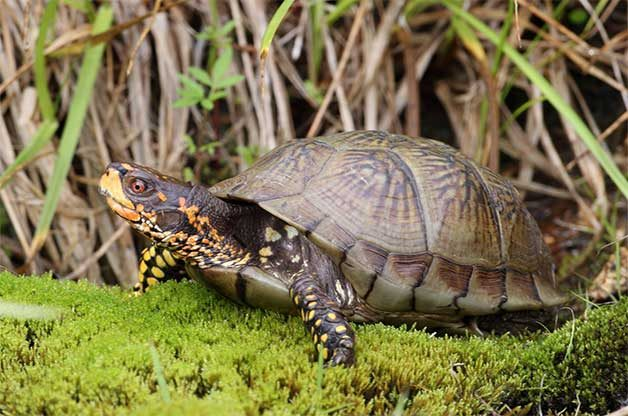 box turtle on moss